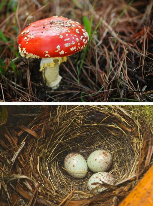 photos of mushroom (top) and junco nest (bottom) at Point Lobos