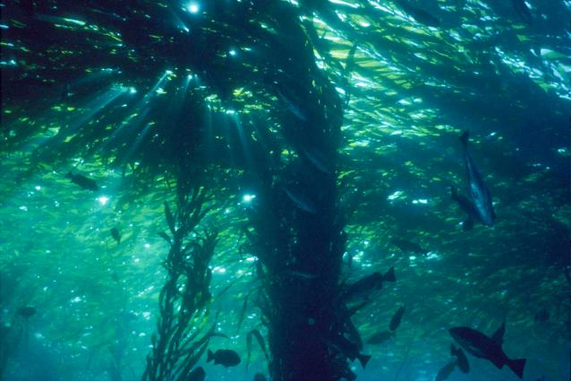 photo of the kelp forest