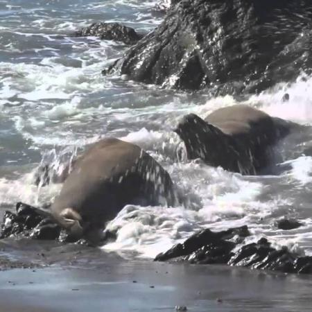 Embedded thumbnail for Bull Elephant Seals Fighting