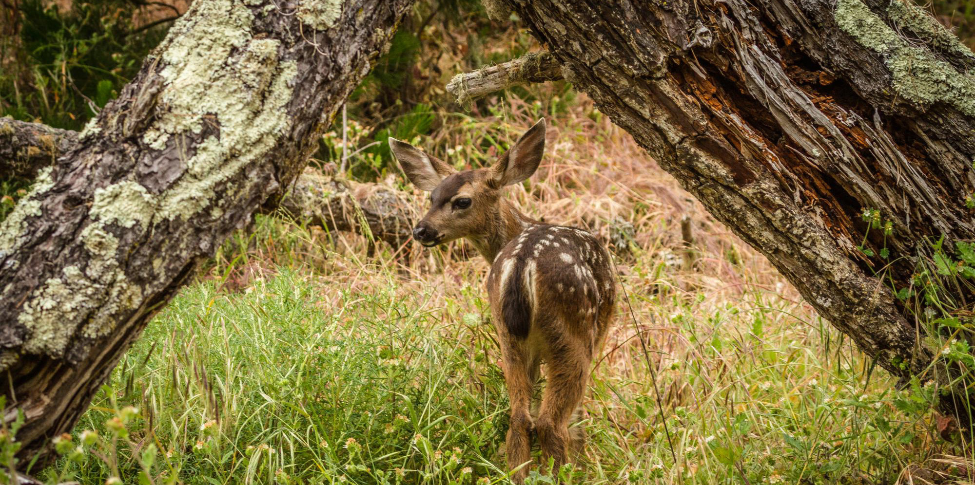 photo of a black tail fawn